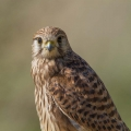 Navadna_postovka_Common_kestrel_20.jpg