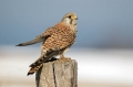 Navadna_postovka_Common_kestrel_23.jpg