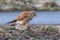 Navadna_postovka_Common_kestrel_24.jpg