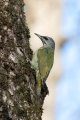 Pivka_Grey_headed_woodpecker_Picus_canus_Zolne_Picidae_01.jpg