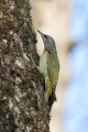 Pivka_Grey_headed_woodpecker_Picus_canus_Zolne_Picidae_03.jpg