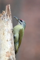 Pivka_Grey_headed_woodpecker_Picus_canus_Zolne_Picidae_04.jpg