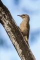 Pivka_Grey_headed_woodpecker_Picus_canus_Zolne_Picidae_11.jpg