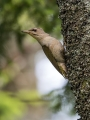 Pivka_Grey_headed_woodpecker_Picus_canus_Zolne_Picidae_14.jpg