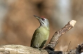 Pivka_Grey_headed_woodpecker_Picus_canus_Zolne_Picidae_17.jpg