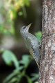 Pivka_Grey_headed_woodpecker_Picus_canus_Zolne_Picidae_18.jpg