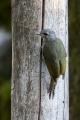 Pivka_Grey_headed_woodpecker_Picus_canus_Zolne_Picidae_19.jpg