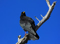 Planinska_kavka_Alpine_chough_Pyrrhocorax_graculus_07.jpg
