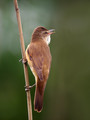 Rakar_Great_reed_warbler_06.jpg