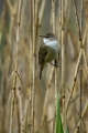Rakar_Great_reed_warbler_07.jpg