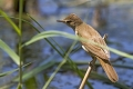 Rakar_Great_reed_warbler_09.jpg