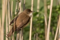 Rakar_Great_reed_warbler_13.jpg
