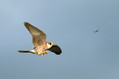 Rdecenoga_postovka_Red_footed_falcon_Falco_vespertinus_Sokoli_Falconidae_07.jpg