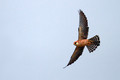 Rdecenoga_postovka_Red_footed_falcon_Falco_vespertinus_Sokoli_Falconidae_08.jpg