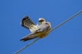Rdecenoga_postovka_Red_footed_falcon_Falco_vespertinus_Sokoli_Falconidae_11.jpg
