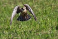 Rdecenoga_postovka_Red_footed_falcon_Falco_vespertinus_Sokoli_Falconidae_14.jpg