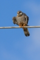 Rdecenoga_postovka_Red_footed_falcon_Falco_vespertinus_Sokoli_Falconidae_16.jpg