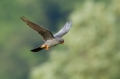 Rdecenoga_postovka_Red_footed_falcon_Falco_vespertinus_Sokoli_Falconidae_18.jpg
