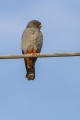 Rdecenoga_postovka_Red_footed_falcon_Falco_vespertinus_Sokoli_Falconidae_19.jpg