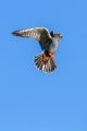 Rdecenoga_postovka_Red_footed_falcon_Falco_vespertinus_Sokoli_Falconidae_20.jpg