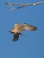 Rdecenoga_postovka_Red_footed_falcon_Falco_vespertinus_Sokoli_Falconidae_21.jpg
