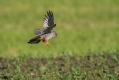 Rdecenoga_postovka_Red_footed_falcon_Falco_vespertinus_Sokoli_Falconidae_25.jpg
