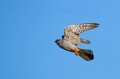 Rdecenoga_postovka_Red_footed_falcon_Falco_vespertinus_Sokoli_Falconidae_26.jpg