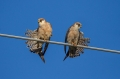 Rdecenoga_postovka_Red_footed_falcon_Falco_vespertinus_Sokoli_Falconidae_29.jpg