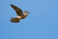 Rdecenoga_postovka_Red_footed_falcon_Falco_vespertinus_Sokoli_Falconidae_31.jpg