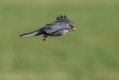 Rdecenoga_postovka_Red_footed_falcon_Falco_vespertinus_Sokoli_Falconidae_34.jpg