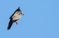Rdecenoga_postovka_Red_footed_falcon_Falco_vespertinus_Sokoli_Falconidae_35.jpg