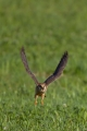 Rdecenoga_postovka_Red_footed_falcon_Falco_vespertinus_Sokoli_Falconidae_36.jpg