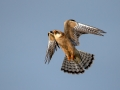 Rdecenoga_postovka_Red_footed_falcon_Falco_vespertinus_Sokoli_Falconidae_46.jpg