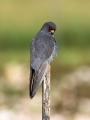 Rdecenoga_postovka_Red_footed_falcon_Falco_vespertinus_Sokoli_Falconidae_49.jpg