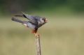 Rdecenoga_postovka_Red_footed_falcon_Falco_vespertinus_Sokoli_Falconidae_54.jpg