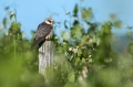 Rdecenoga_postovka_Red_footed_falcon_Falco_vespertinus_Sokoli_Falconidae_72.jpg