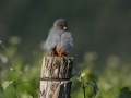 Rdecenoga_postovka_Red_footed_falcon_Falco_vespertinus_Sokoli_Falconidae_79.jpg