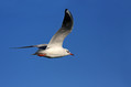Recni_galeb_Black_headed_gull_07.jpg