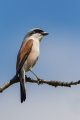 Rjavi_srakoper_Red_backed_shrike_18.jpg