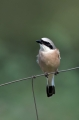 Rjavi_srakoper_Red_backed_shrike_21.jpg
