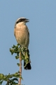 Rjavi_srakoper_Red_backed_shrike_22.jpg