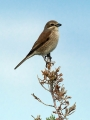 Rjavi_srakoper_Red_backed_shrike_26.jpg