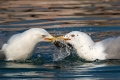 Rumenonogi_galeb_Yellow_legged_gull_07.jpg