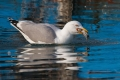 Rumenonogi_galeb_Yellow_legged_gull_08.jpg