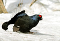 Rusevec_Black_grouse_09.jpg
