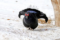 Rusevec_Black_grouse_11.jpg