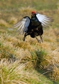 Rusevec_Black_grouse_12.jpg