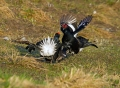 Rusevec_Black_grouse_13.jpg