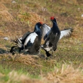 Rusevec_Black_grouse_14.jpg