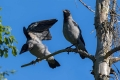 Siva_vrana_Hooded_crow_08.jpg